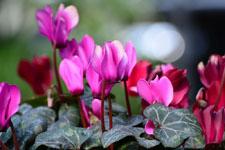シクラメンの花の画像001