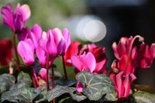 シクラメンの花の画像002