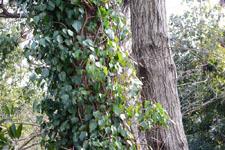 木に巻きついたアイビーの画像001