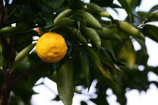 ゆずの果実の画像017