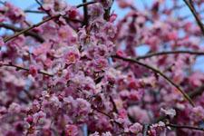 しだれ梅の花の画像001