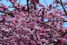 しだれ梅の花の画像002
