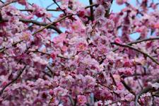しだれ梅の花の画像004