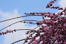 しだれ梅の花の画像005
