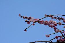 しだれ梅の花の画像006