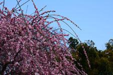 しだれ梅の花の画像007