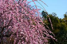 しだれ梅の花の画像008