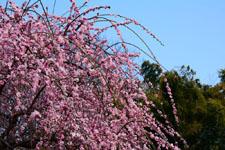 しだれ梅の花の画像009