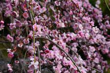 しだれ梅の花の画像010