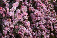 しだれ梅の花の画像011