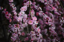 しだれ梅の花の画像012