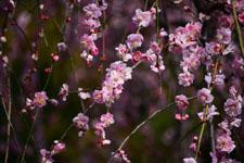 しだれ梅の花の画像013
