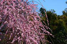 しだれ梅の花の画像015