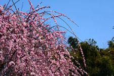 しだれ梅の花の画像016