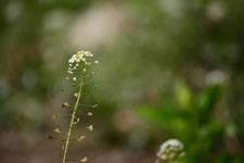 ナズナの花の画像014