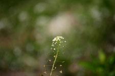 ナズナの花の画像015