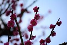 紅梅の花の画像020