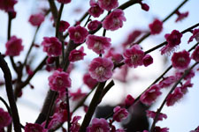 紅梅の花の画像021