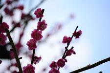紅梅の花の画像022