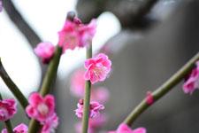 紅梅の花の画像023