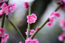 紅梅の花の画像024