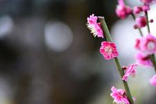 紅梅の花の画像025