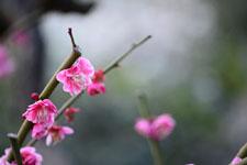 紅梅の花の画像026