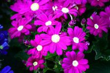 シネラリアの花