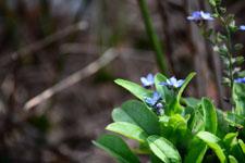 ワスレナグサの花の画像001