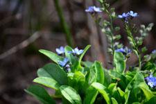 ワスレナグサの花の画像002