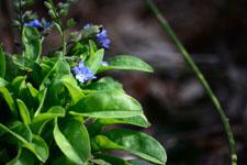 ワスレナグサの花の画像003