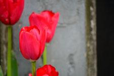 赤いチューリップの花の画像004