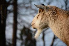 井の頭動物園のヤギの画像001