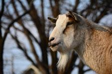井の頭動物園のヤギの画像002
