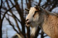 井の頭動物園のヤギの画像003