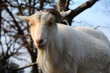 井の頭動物園のヤギの画像005