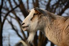 井の頭動物園のヤギの画像006