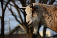井の頭動物園のヤギの画像007