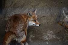 井の頭動物園のキツネの画像001