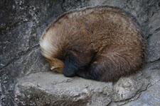 井の頭動物園のキツネの画像002
