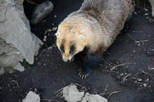 井の頭動物園のアナグマの画像002