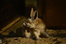 井の頭動物園のフェネックギツネの画像002