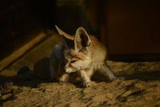 井の頭動物園のフェネックギツネの画像003