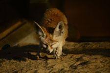 井の頭動物園のフェネックギツネの画像004