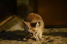 井の頭動物園のフェネックギツネの画像005