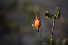 クチナシの種子の画像002