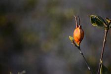 クチナシの種子の画像003