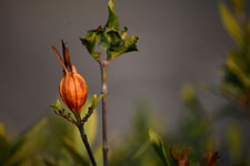 クチナシの種子の画像004
