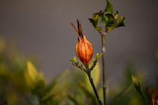 クチナシの種子の画像005