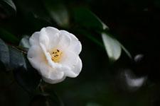 白いツバキの花の画像010
